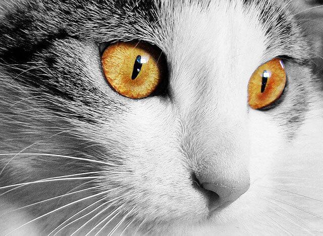 Chats, chatons et races de chats