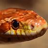 Fiches race des reptiles