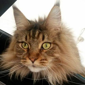 photo Maine Coon Chats