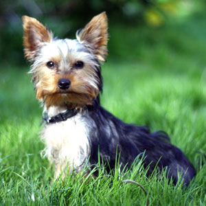photo Yorkshire Terrier Chiens