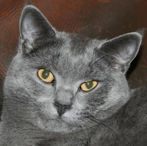 photo Chartreux Chats