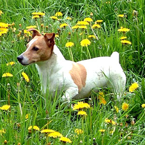photo Jack Russell Chiens