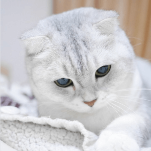 photo Scottish Fold Chats