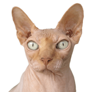 photo Sphynx Chats