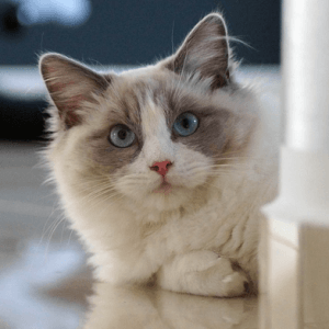 photo Ragdoll Chats