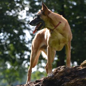 photo Berger Belge Malinois Chiens