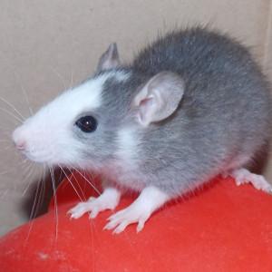 photo Rat Rongeurs