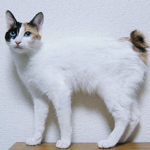 photo Japanese Bobtail Chats