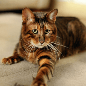 photo Toyger Chats