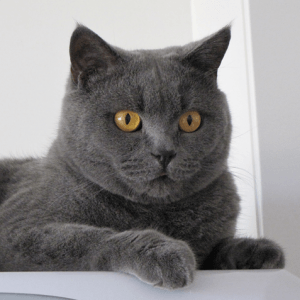 photo British shorthair Chats