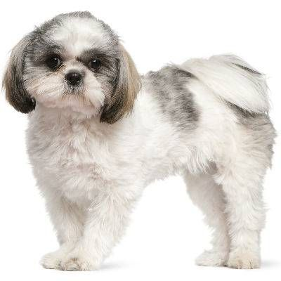 photo Shih tzu Chiens