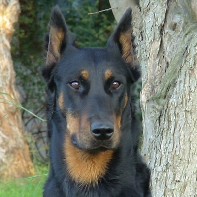 photo Beauceron Chiens
