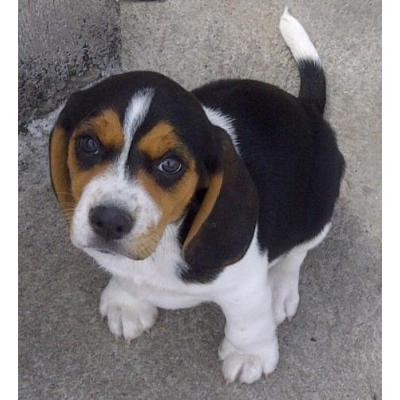 photo Beagle Chiens