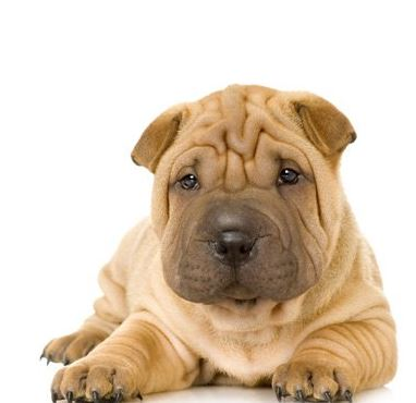 photo Shar Pei Chiens