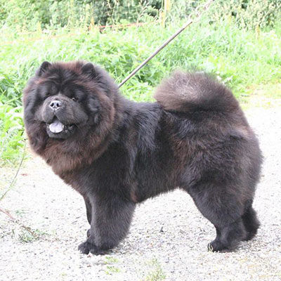 photo Chow-chow Chiens