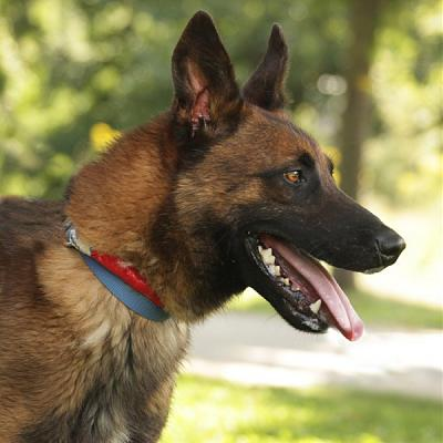 photo malinois Chiens