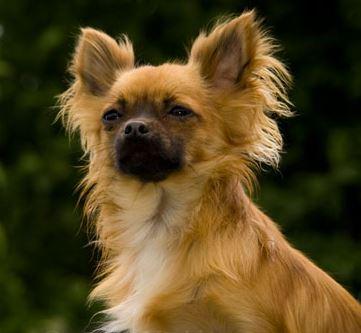 photo Chihuahua Chiens