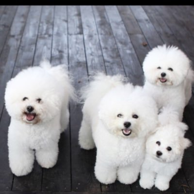 photo Bichon frisé Chiens