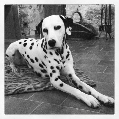 photo Dalmatien Chiens