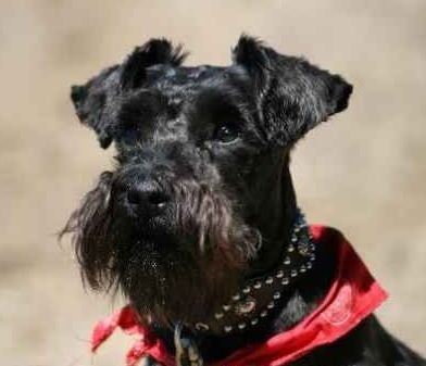 photo Schnauzer Chiens