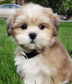 photo lhassa apso Chiens