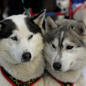 photo Husky Siberien Chiens