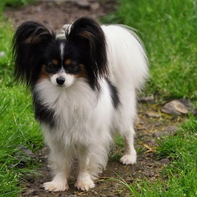 photo Epagneul Nain Continental Papillon Chiens