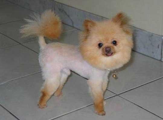 chien toiletté comme un lion