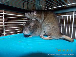 rat agouti