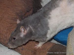 rat bleu russe