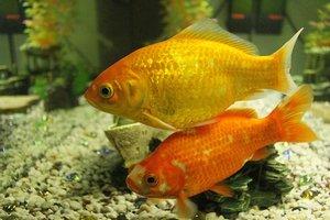 10 meilleurs poissons d 39 aquarium pour d buter for Nourrir des poissons rouges