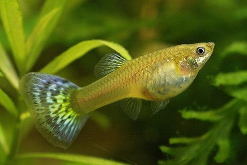 poisson Poecilia reticulata