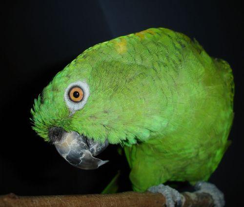 Grand perroquet Amazone