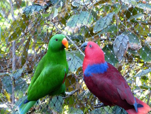 Grand perroquet Eclectus en couple