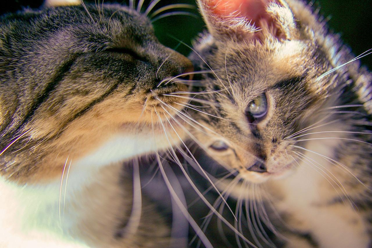 baiser entre chaton et chatte