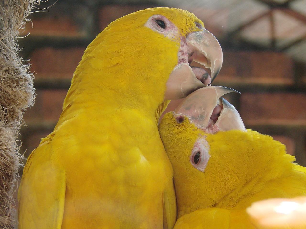 bisou entre perroquets