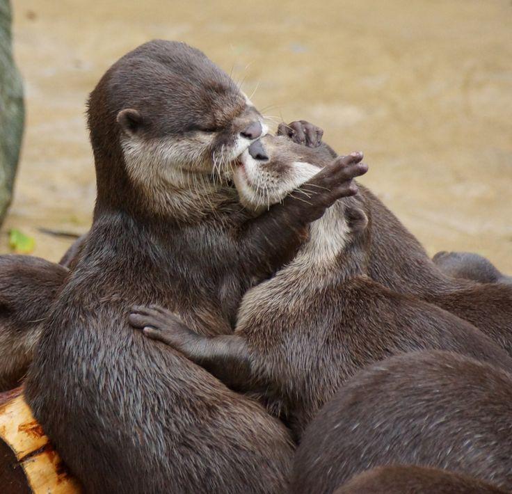 baiser entre loutres