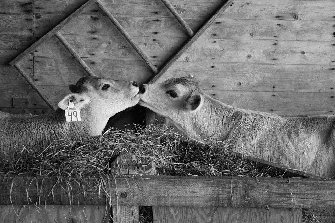 deux veaux qui s'embrassent