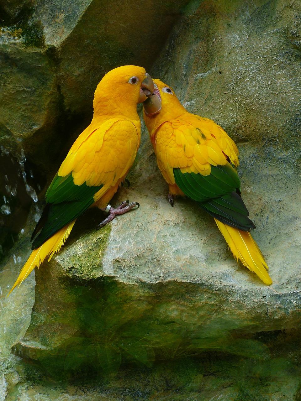 bisous entre perroquets amoureux