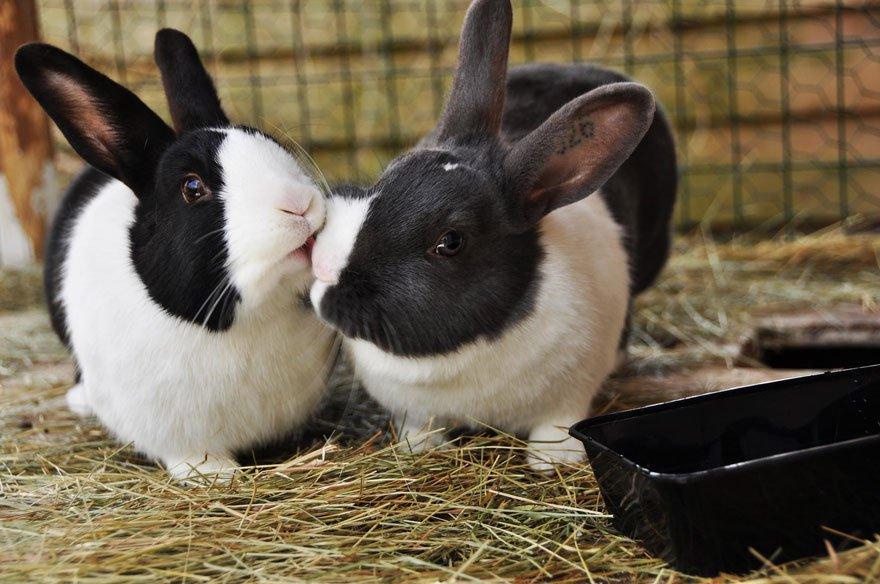 bisou entre lapins