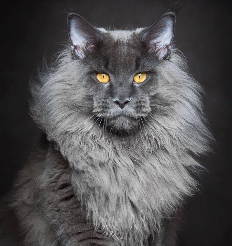 photo chat maine coon gris