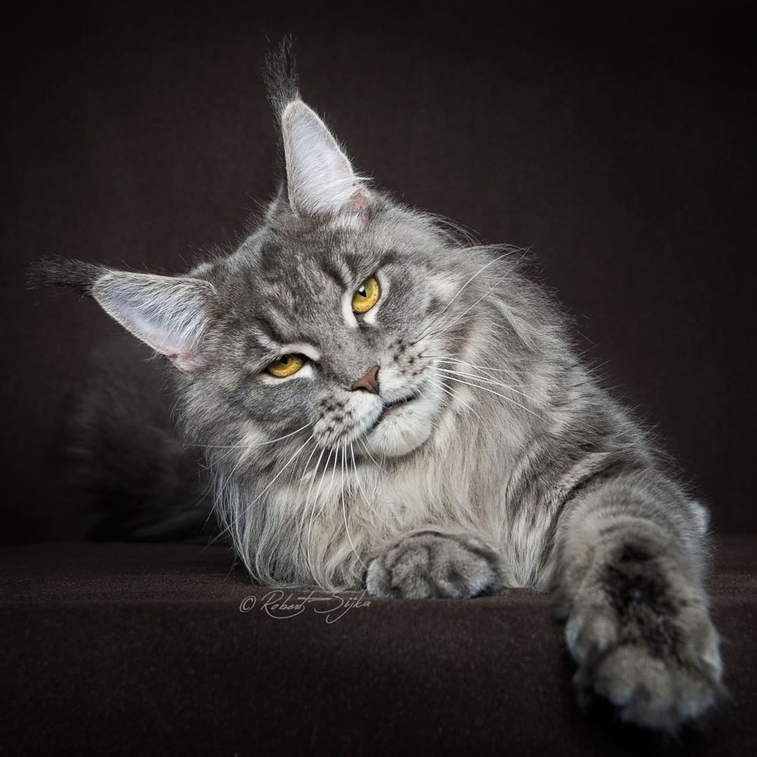 beau chat maine coon gris