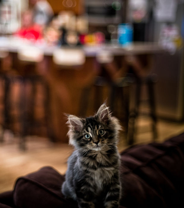 photo chaton maine coon
