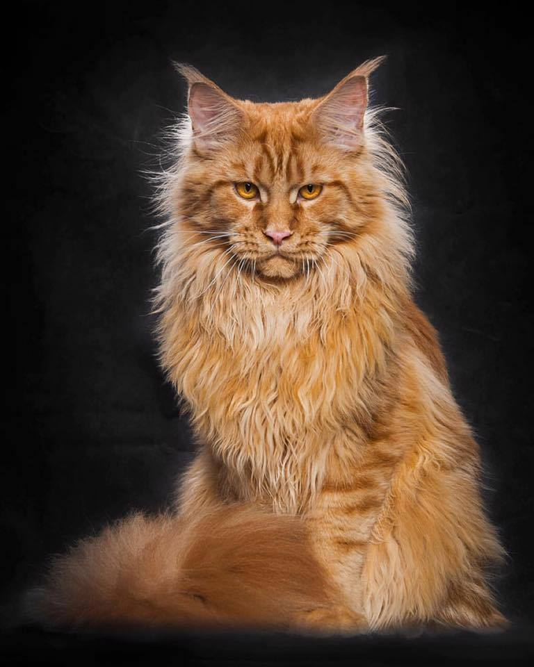 photo chat maine coon roux