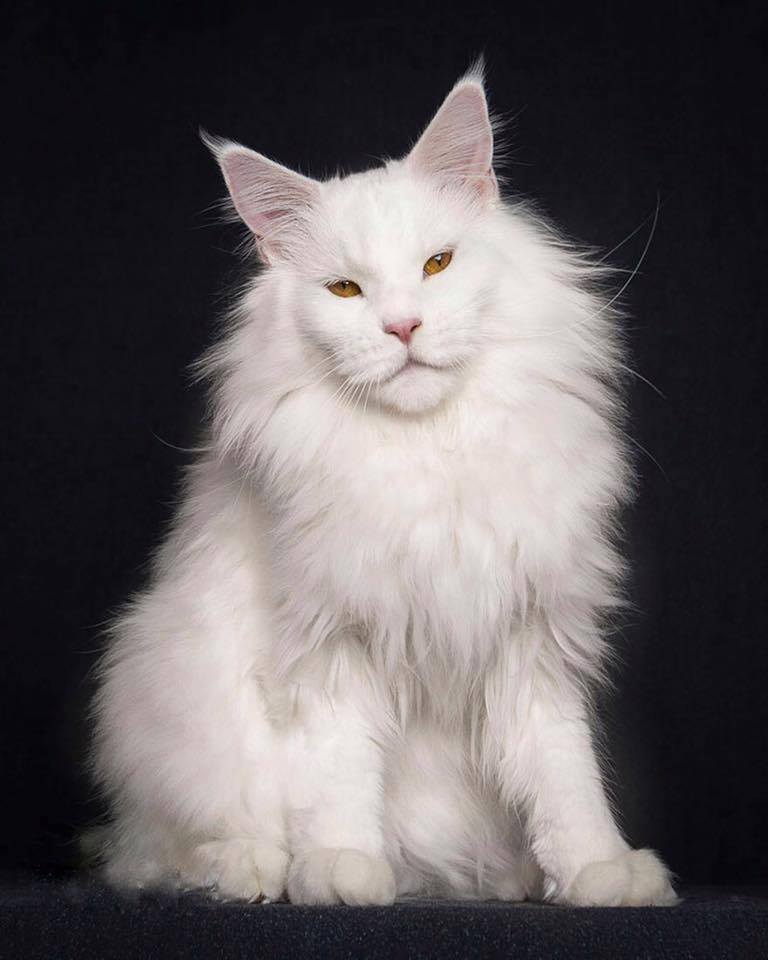 photo chat maine coon blanc
