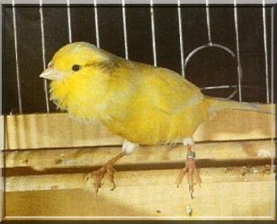 oiseau chanteur Canari du Harz
