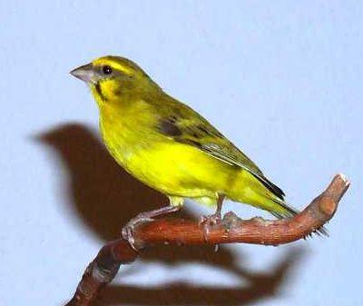 oiseau chanteur Serin du Mozambique