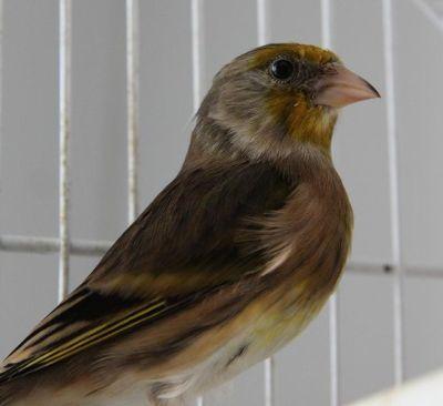 oiseau chanteur Mulet de Chardonneret