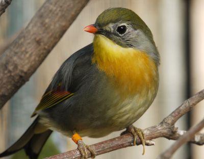 oiseau chanteur Rossignol du Japon