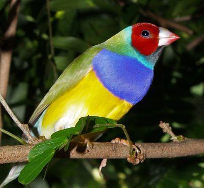 oiseau chanteur Diamant de Gould